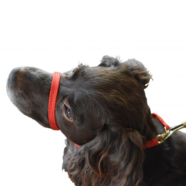 Cocker spaniel wearing K9 Bridle