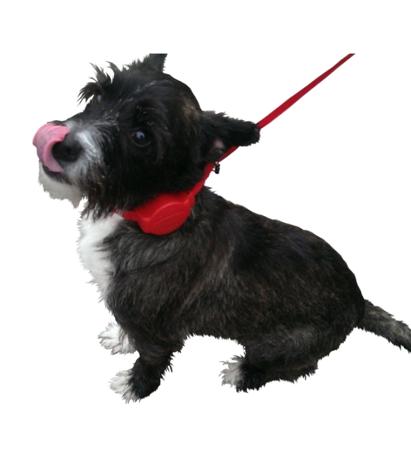 Little dog wearing a Doddle